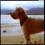 Kualoa Beach Park, Koolau Sunset, Wheaten Terrier, Windward Oahu