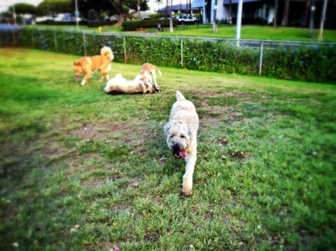 Wheaten Terrier, Hawaii Living, thereafterish, Max the Bear, Honolulu life
